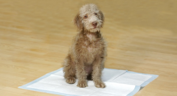 5 Puppy Toilet Training Mistakes
